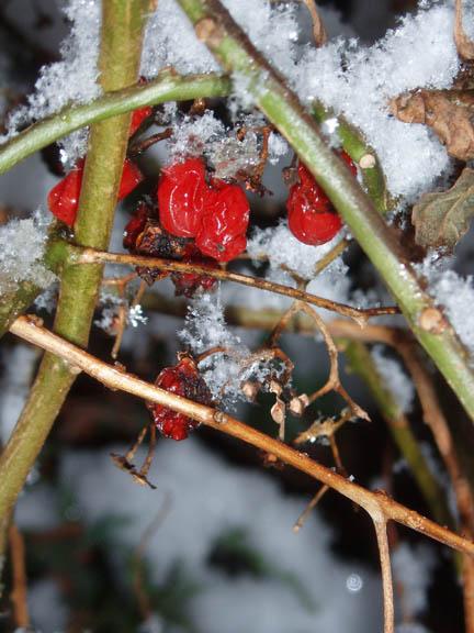Winterberries (c)Lauren Curtis